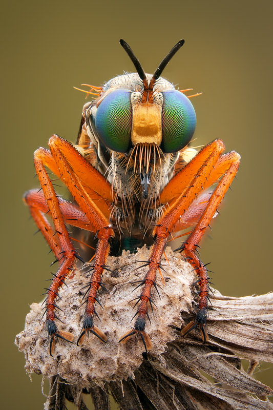An example of a detailed shot. Look at the fascinating characteristics of this robber fly.