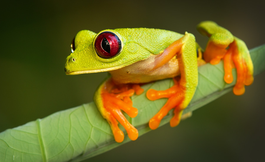 A relatively dark background brings the subject out and gives this image a 'studio' quality (although it's absolutely natural). Such backgrounds work extremely well with very vibrant and colorful subjects, like this red eyed tree frog shot in Panama.