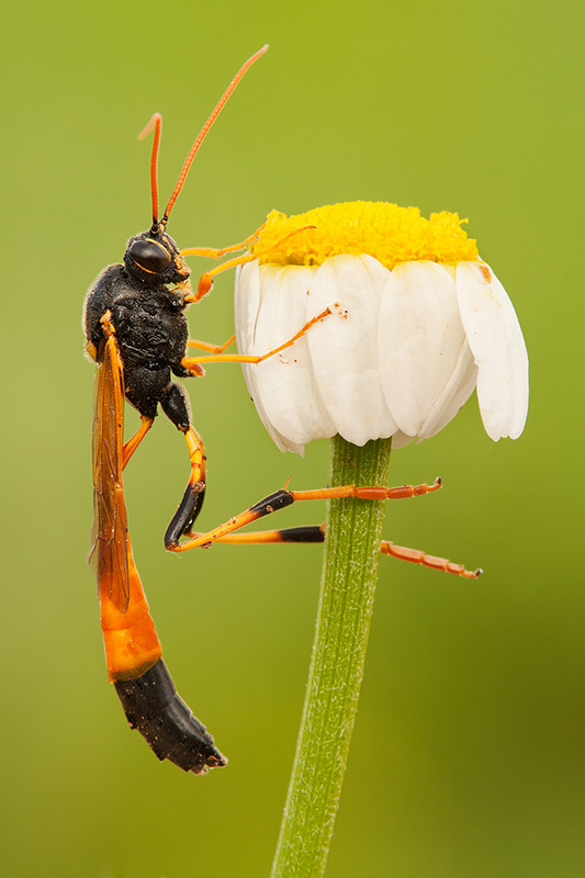 Wasp with vegetation background