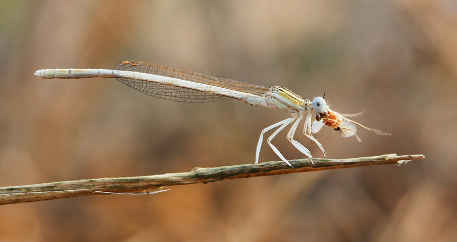 Damselflies may seem subtle and delicate, but they are ferocious hunters as well. Their favorite prey is our worst enemy: the mosquito.