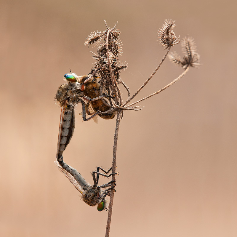 Among the robber flies' most fascinating behaviors is shown in this image. Having spotted a female, a male robber fly will often wait until his prospective mate has captured prey, only then attempting to copulate. This can save his life, as a hungry female won't hesitate to feed on him!