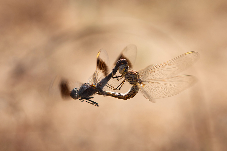 Quality isn't everything – I always strive for it, yet sometimes the interest factor of the scene outweighs it. This image of aerial dragonfly sex isn't exactly what I'd call a quality shot, but still, it's a very interesting one.