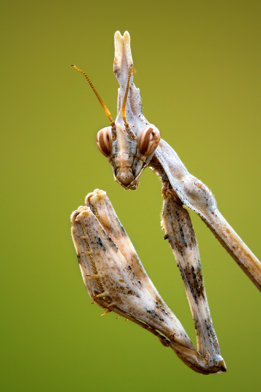 This mantis portrait was essentially shot like a human portrait, according to the same principles. The only difference is the shooting distance.