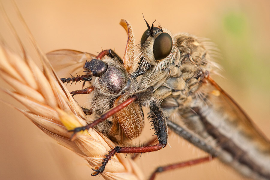 With over 8000 species worldwide and more than 150 in Israel, robber flies are amongst my favorite subjects. These incredible hunters will eat anything smaller then themselves (including their own!), and sometimes even prey on animals larger than they are. Words alone can't even begin to show the splendor of these beasts, and the excitement of seeing them in action.