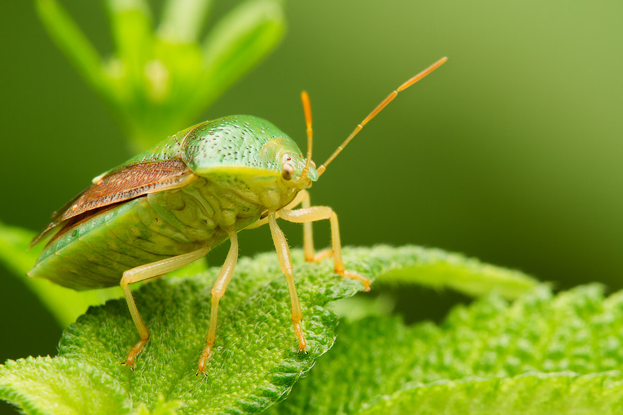 A small subject like this shield bug required about 1:1 magnification.