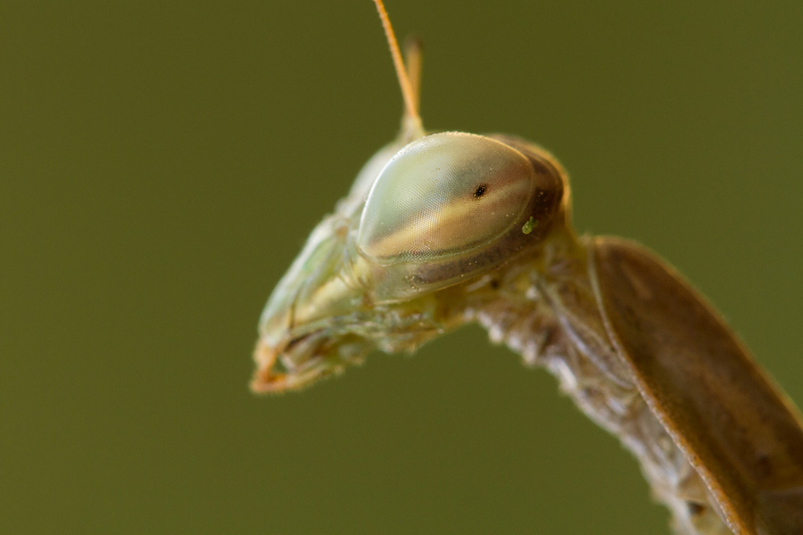 Another example of problematic DOF. When focusing on the mantis' eye, the rest of its head is out of focus.