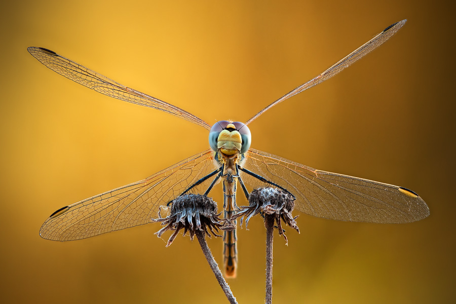 This dragonfly's wings are very strong diagonals. The 'X' shape defines the frame, giving it a unique look.