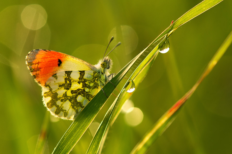 Another example: This orange-tip butterfly adds compositional weight and 'pushes' the leaf on which it's standing below the diagonal, thus creating a balanced image.