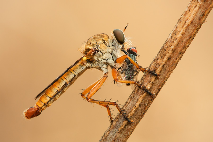 This subject has a heavy compositional weight. See how the composition completes the corner-to-corner diagonal by pointing the robber fly's back side exactly toward the corner. This enabled me to maintain balance while using the visual properties of the subject.