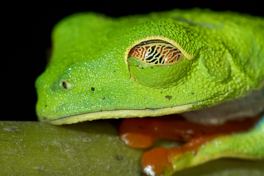 To get better detail on this red eyed tree frog's semi-transparent eyelid, I had to cut off most of its body.