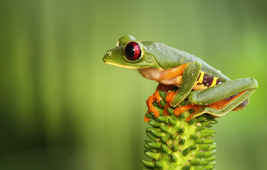 Placing this red eyed tree frog on the right third of the image gives a good balance in the frame.