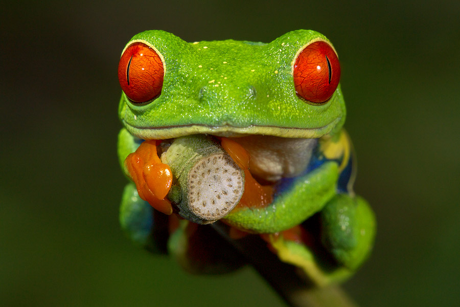 I couldn't have gotten this red-eyed tree frog shot without use of a special image-combination technique. Its body is very deep and if shooting conventionally, I wouldn't have been able to get all of the subject's interesting parts in focus.