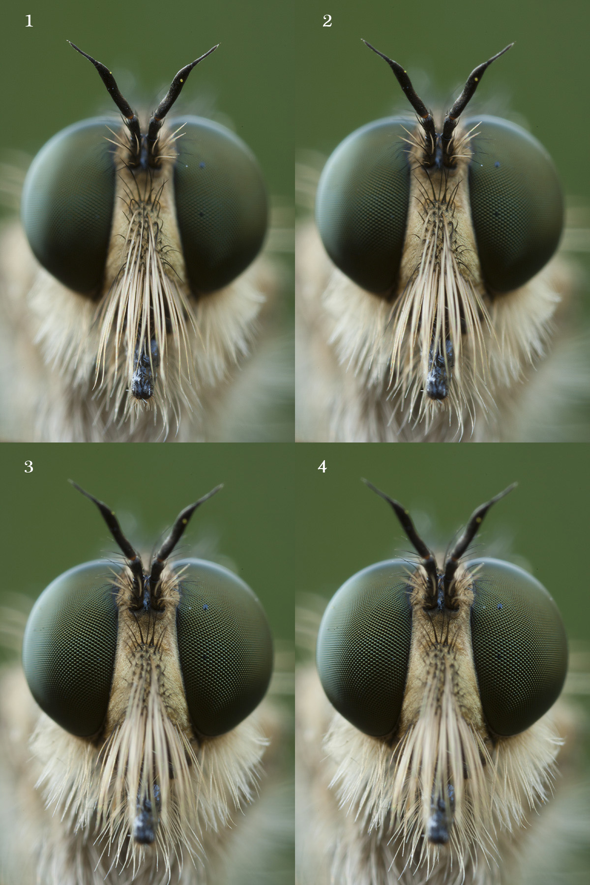 four images of a robber fly I'd like to focus stack. All shot at 1.3sec, ISO 100, f/10.