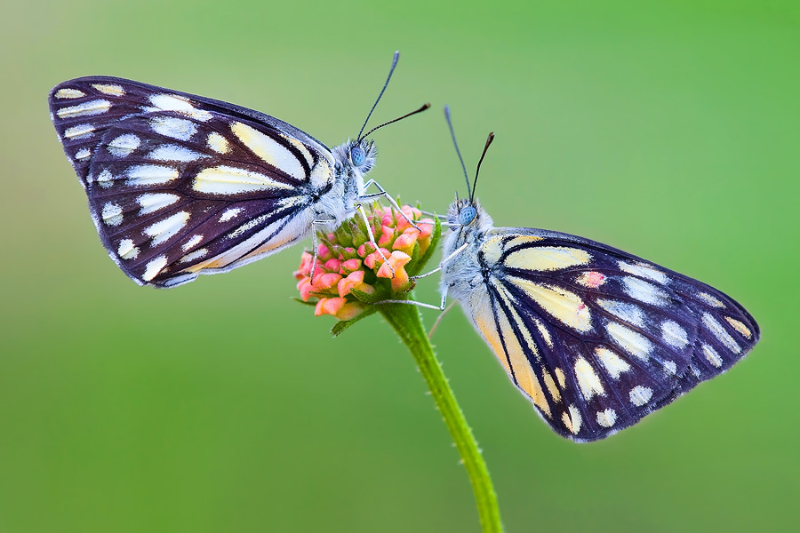 Even when shooting a relatively large object such as a pair of butterflies, the shooting distance is a mere few tens of centimeters.