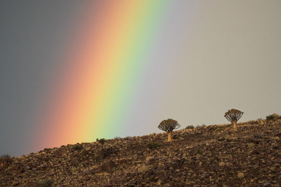 A telephoto shot of quiver trees and a rainbow - a super combo!